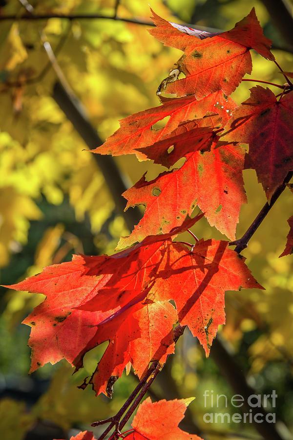 Canadian Autumn by Jola Martysz