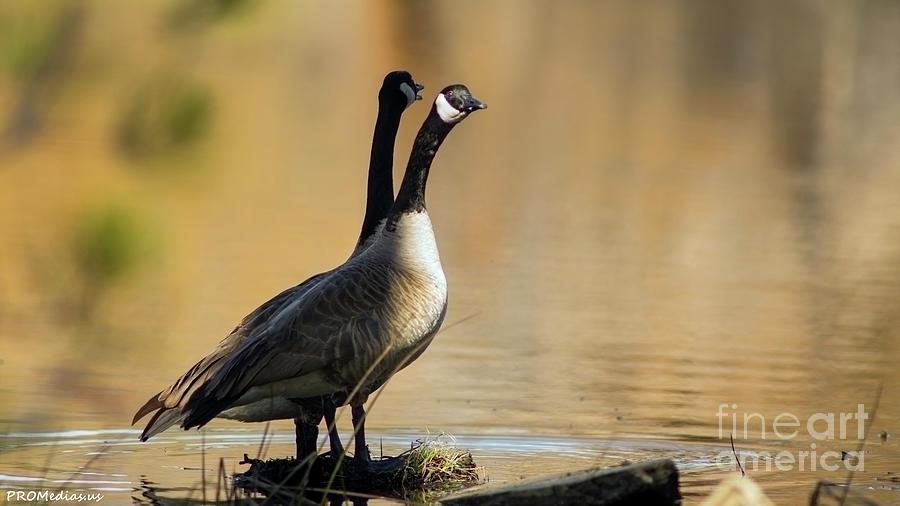 Canadian Geese, El Dorado National Forest, California, U.s.a. Photograph