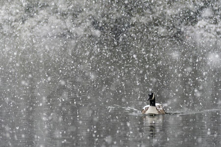 North America Photograph - Canadian Goose in Snow 1 by Melissa Southern