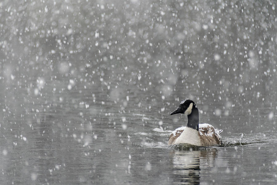 North America Photograph - Canadian Goose in Snow 2 by Melissa Southern