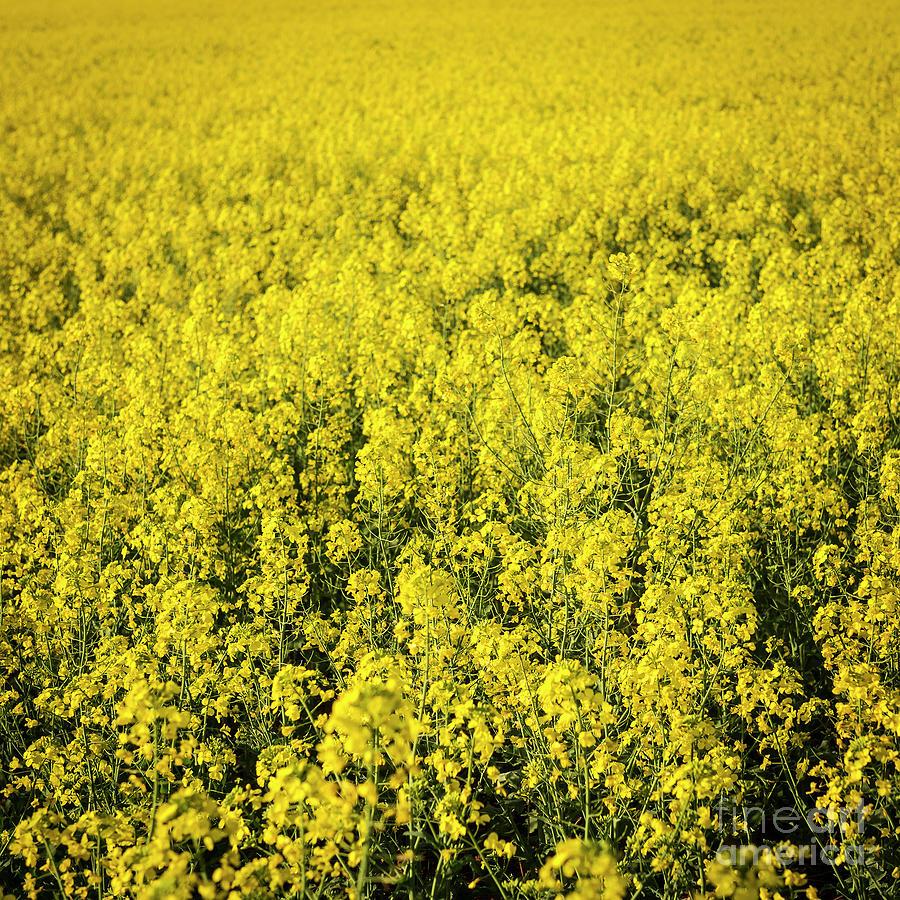 Canola Flower Photograph
