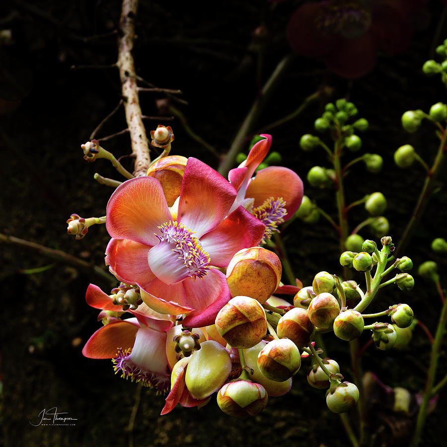 Flowers Photograph - Canonball Tree Flower by Jim Thompson