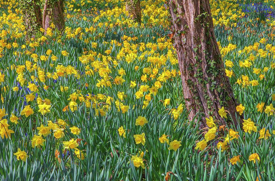 Cape Cod Sea Of Daffodils Photograph