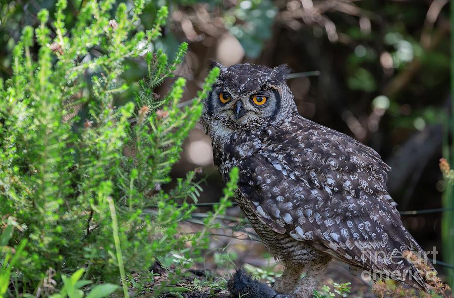 Cape Eagle Owl by Eva Lechner