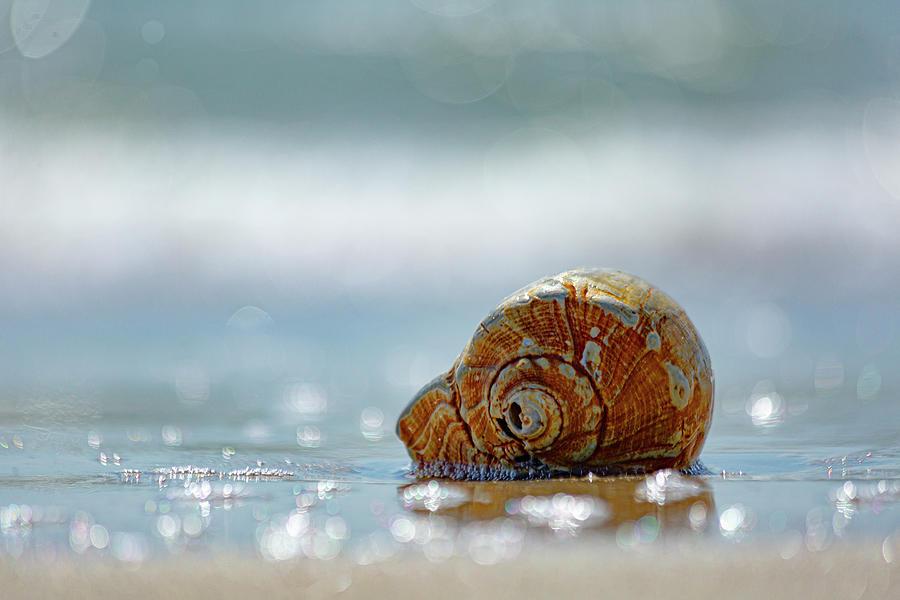 Cape Lookout Conch Photograph