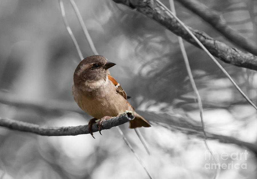 Cape Sparrow Female by Eva Lechner