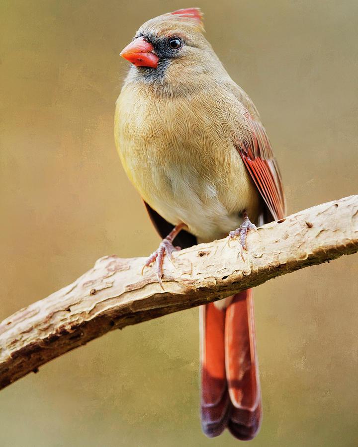 Cardinal Perched by Gigi Ebert