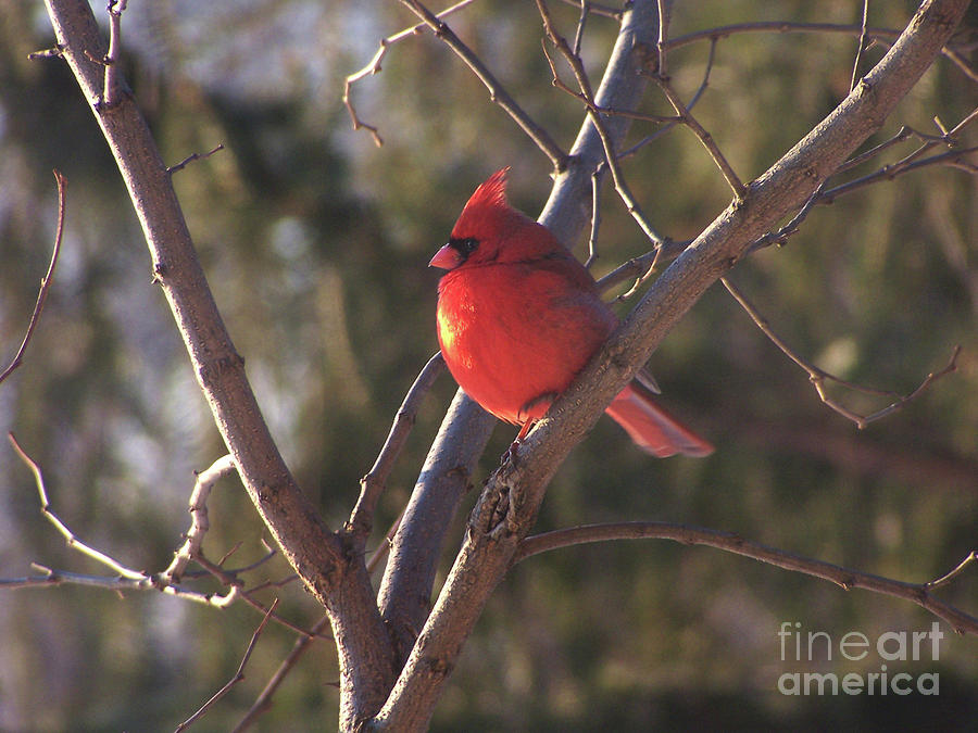 Cardinal Sunset by The Ford Family