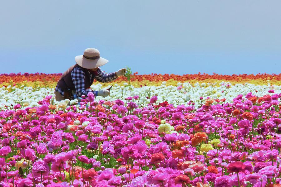 Carlsbad Flower Fields California Photograph