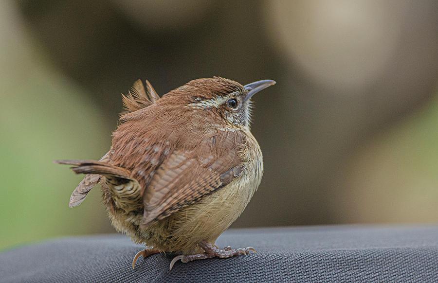 Bird Photograph - Carolina Wren by Jim Cook