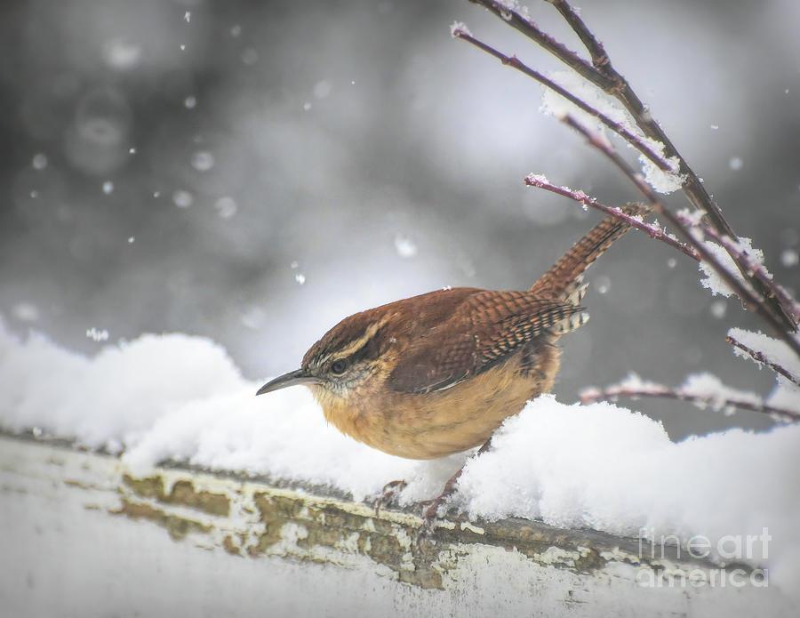 Carolina Wren On A Winter Day Photograph