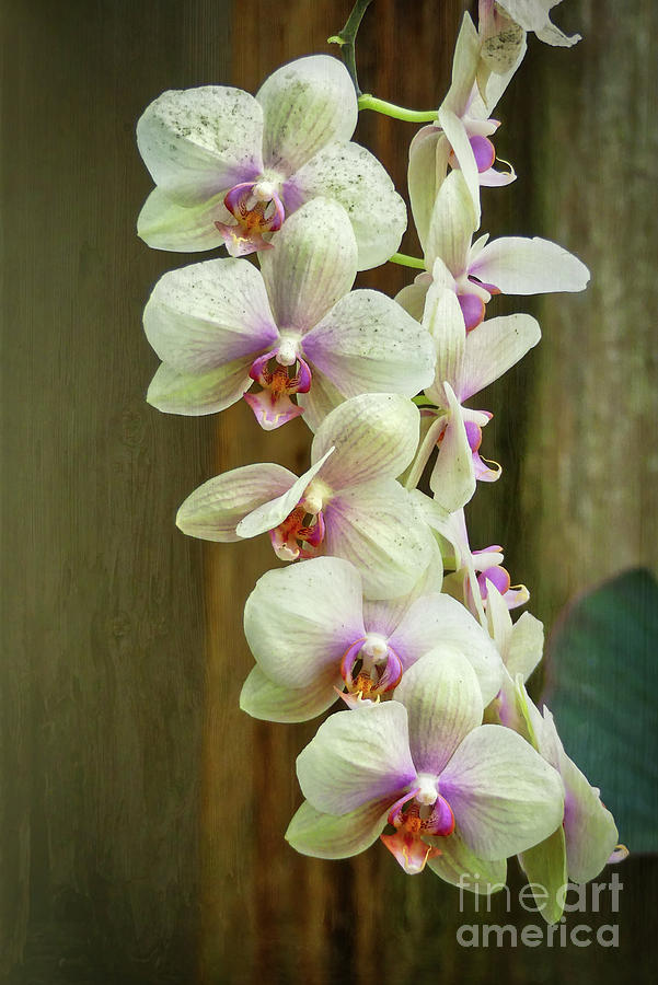 Cascading Orchid by Amy Dundon