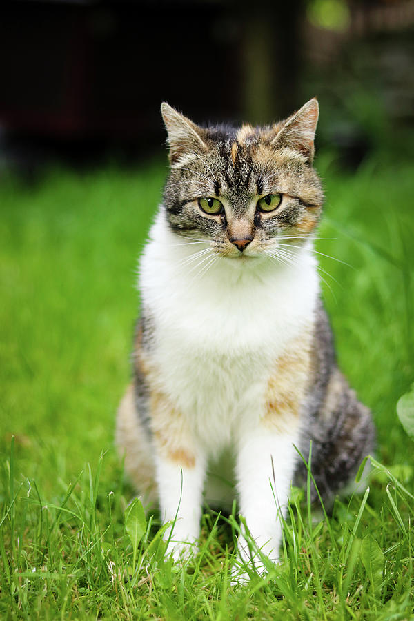 Cat Funny Expression. Felis Catus Domesticus Relax In Grass And Watch Actions And Changes In Owner Garden. Kitten With Green Eyes Sits And Looks Bored. Czech Republic, Europe Photograph