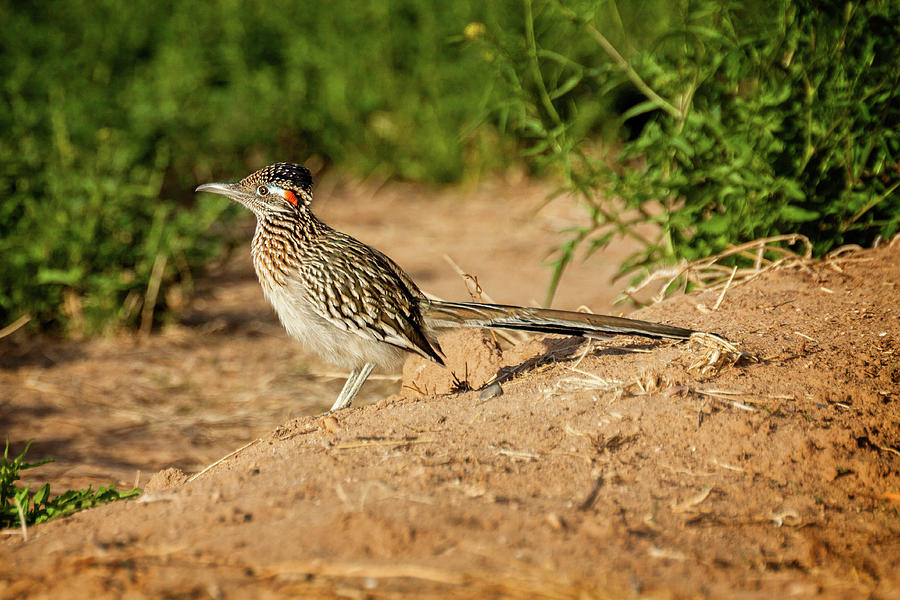 Cuckoo Photograph - Catchin the Morning Sun by Jack and Darnell Est