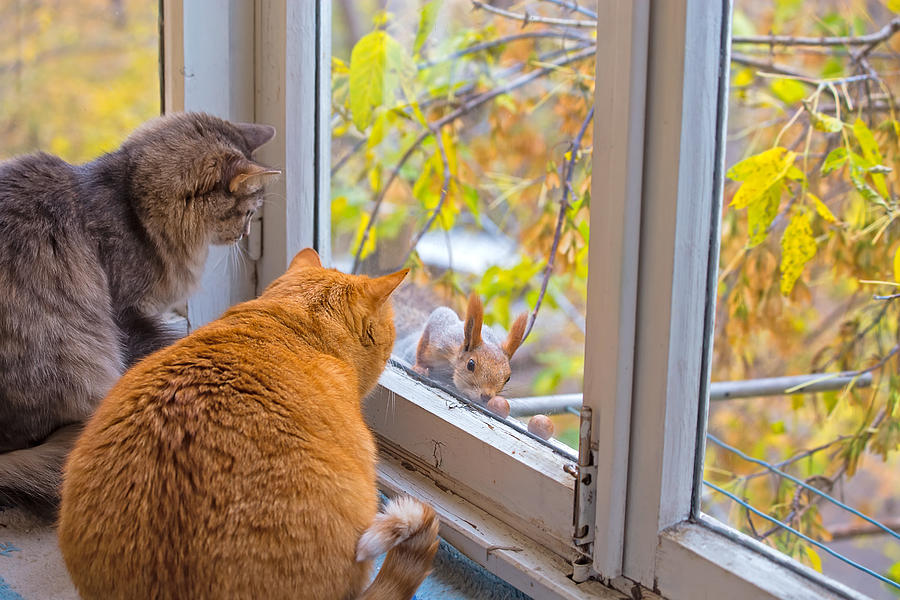 Cats Watch a Squirrel. Two Funny Fat Cats Looks Squirrel through the Window Photograph by Oxygen