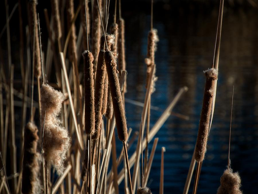 Cattails And Delicious Blue Photograph