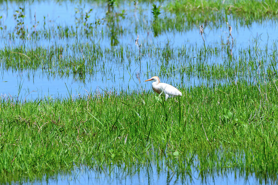 Cattle Egret At School Marsh Photograph