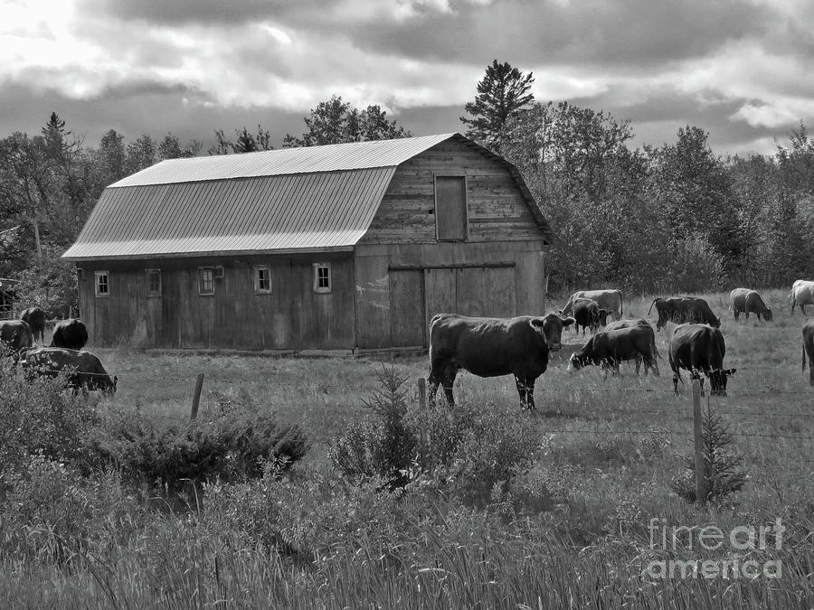 Cattle Farm Photograph