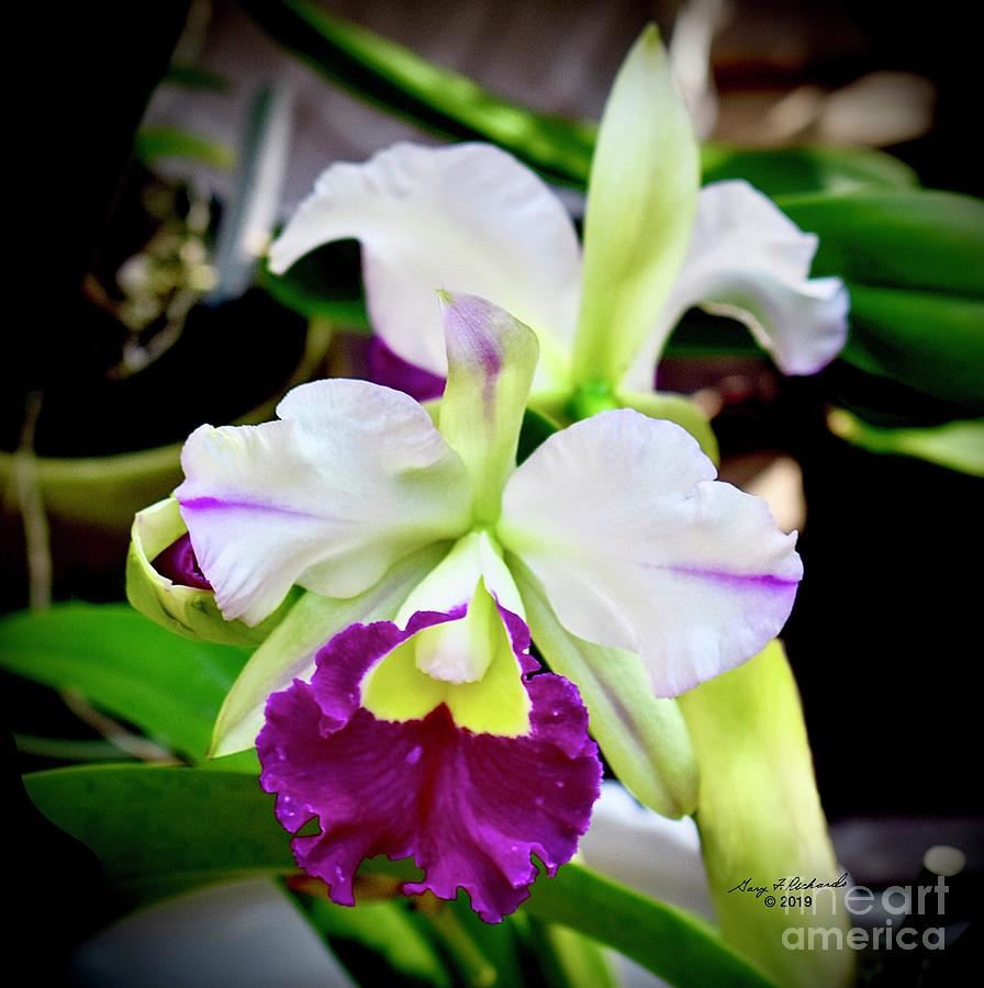 Cattleya Orchid Purple and White by Gary F Richards