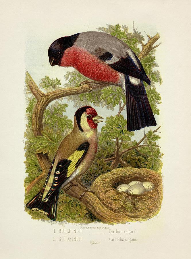 Bullfinch - Pyrrhula Vulgaris And Goldfinch - Carduelis Elegans Painting