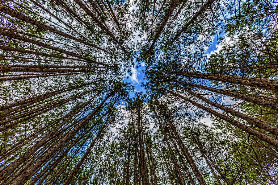 CCC Pines Lookup by Joe Holley