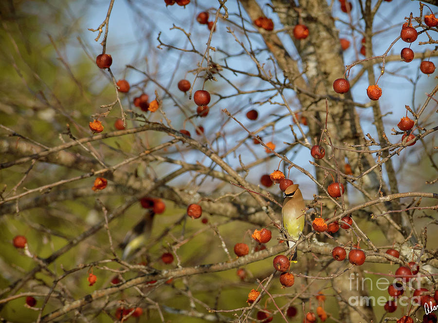 Ceadar Waxwings Photograph