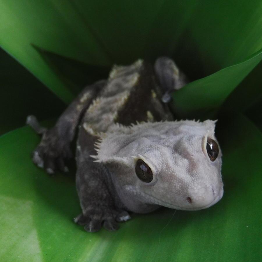 Crested Gecko Photograph - Cedar by YHWHY Vance