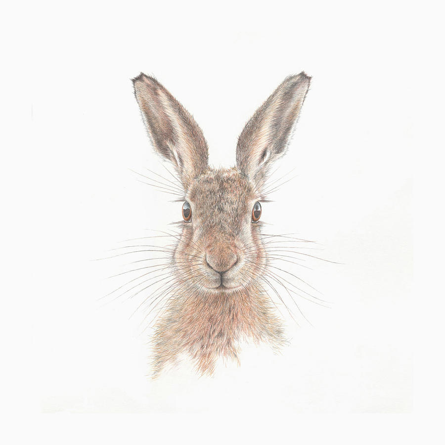Hare Drawing - Chaz by Mark Langley