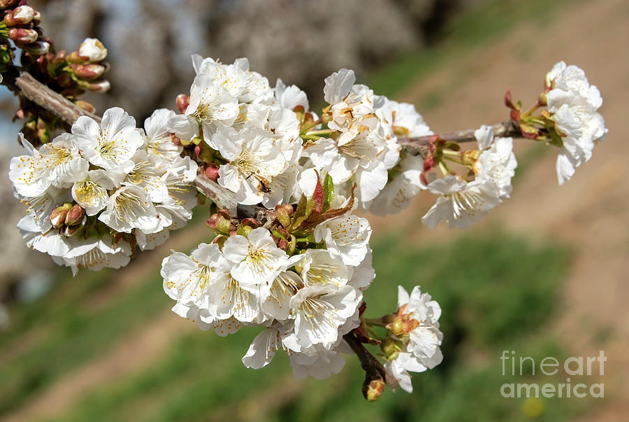 Cheery Blossom Spring Photograph