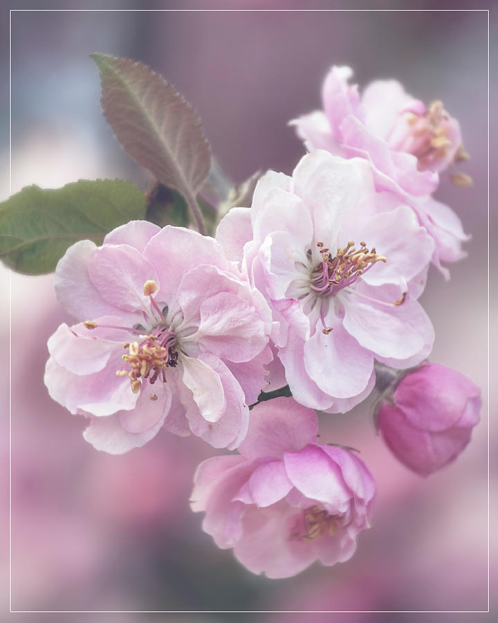 Cherry Blossom Cluster Photograph