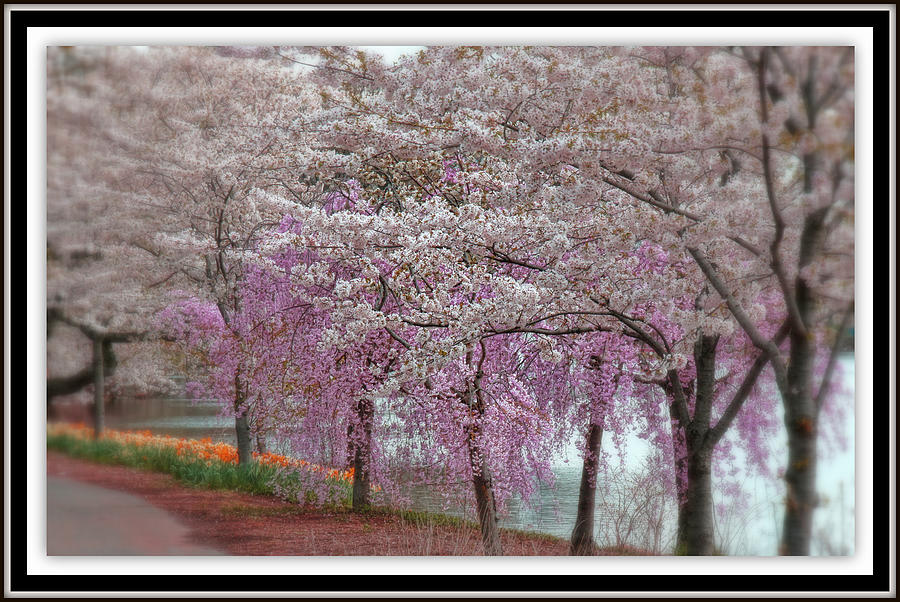 Cherry Blossom Delight Photograph