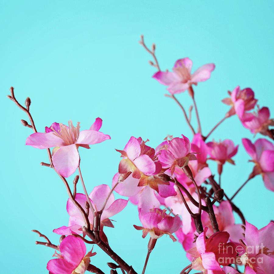Cherry Blossom Flowers Photograph