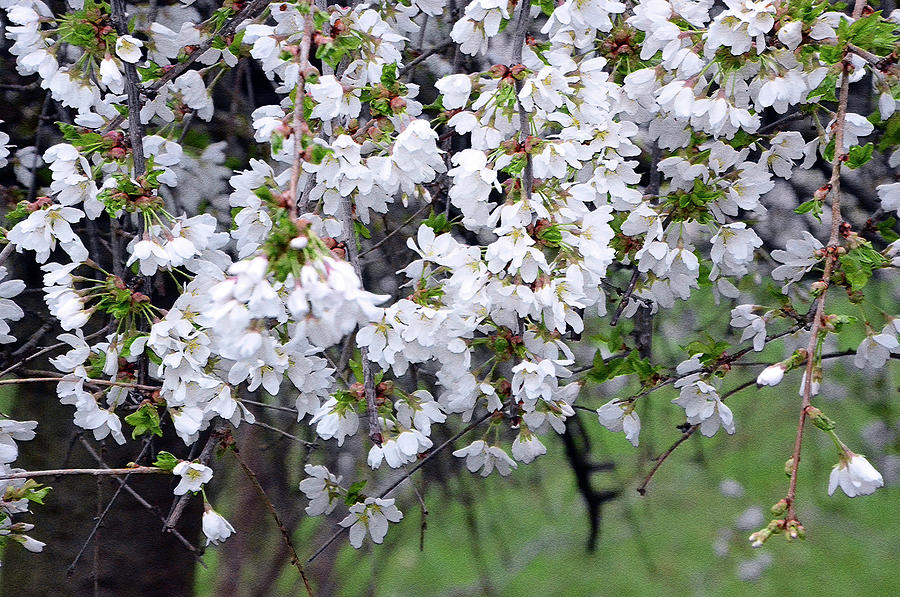 Cherry Blossom Photograph - Cherry blossom 3 by Harsh Malik