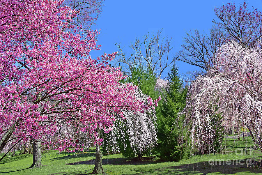 Cherry Blossom Landscape Branch Brook Park Photograph