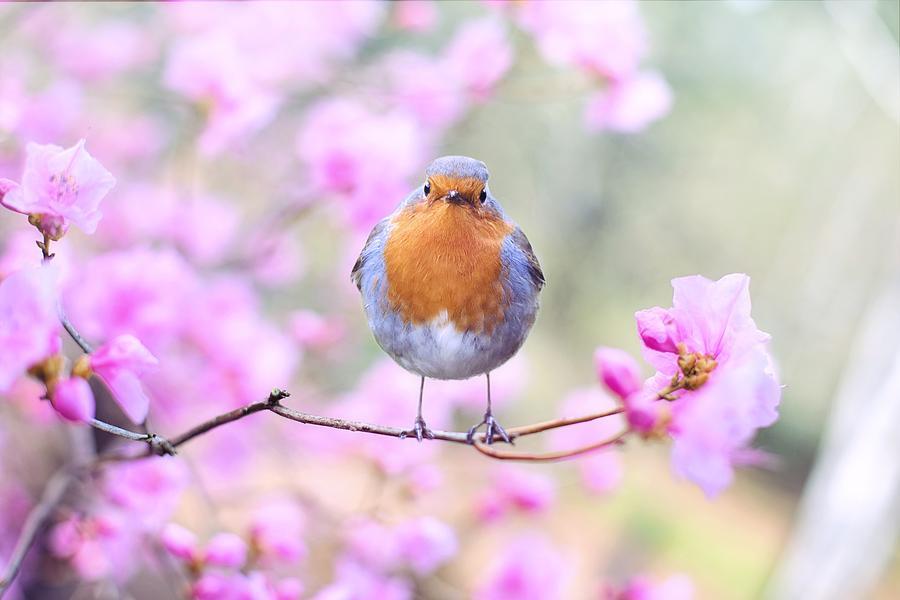 Cherry Blossom Robin by Joy of Life Arts