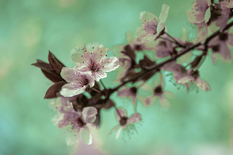 Cherry Blossom - Surreal Art By Ahmet Asar Digital Art