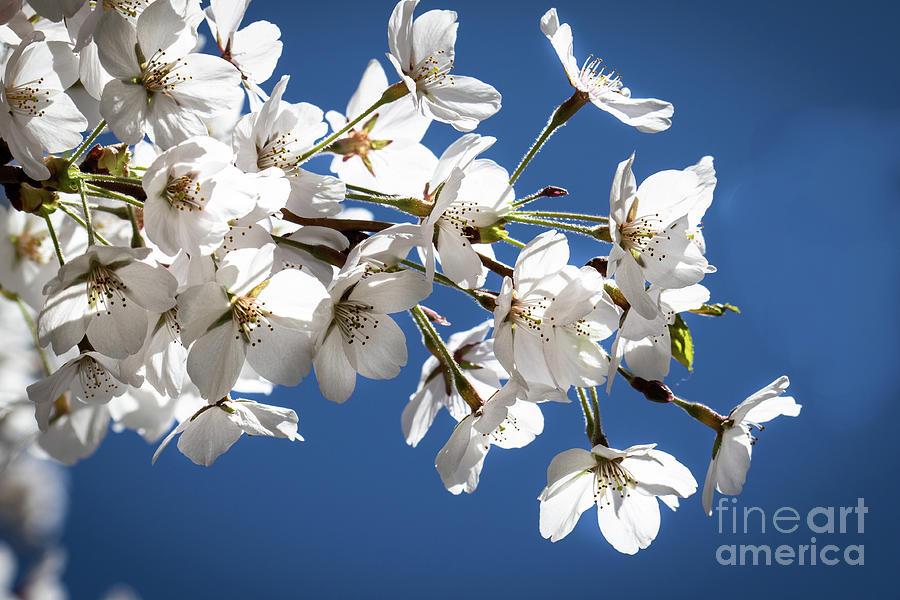 Cherry Blossoms in Bloom Photograph by Eden Watt