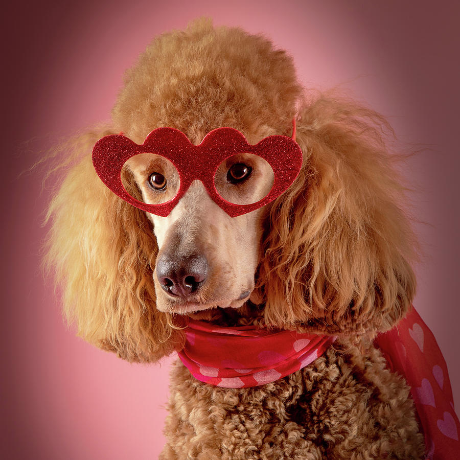 Chester In Heart Glasses Photograph