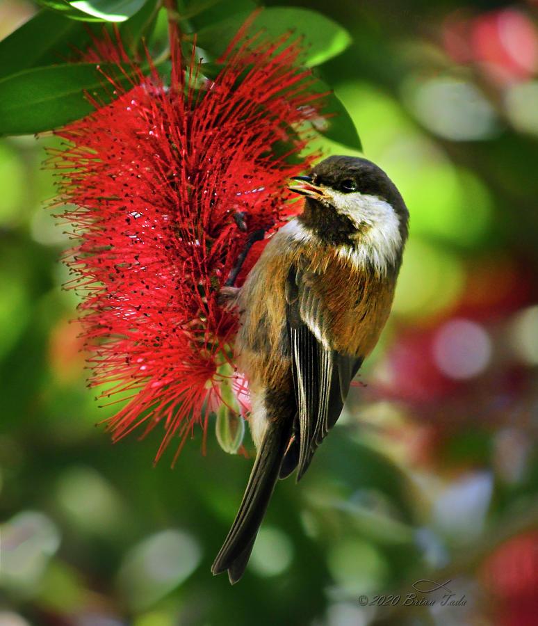 Chestnut-backed Chickadee On Bottle Brush Blossom Photograph