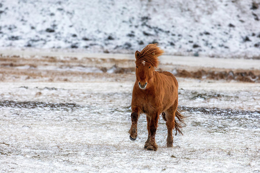 Chestnut Icelandic Horse Running Across A Frozen And Snowy ... - photo#34