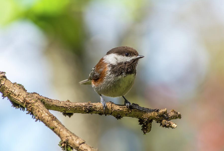 Chickadee On A Spring Day Photograph