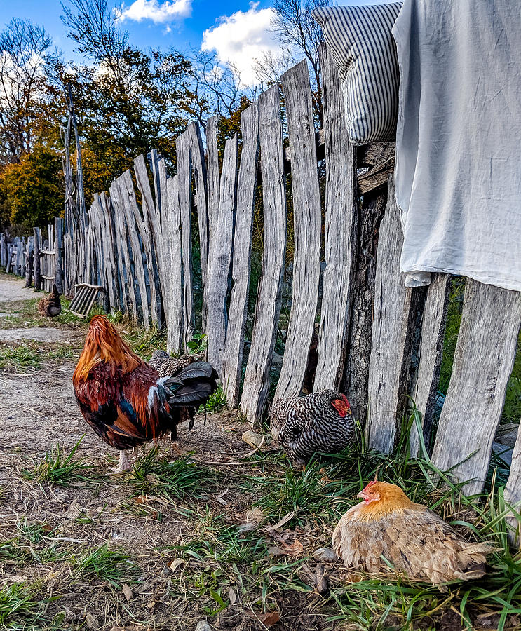 Chickens of Plymouth by Christopher Brown