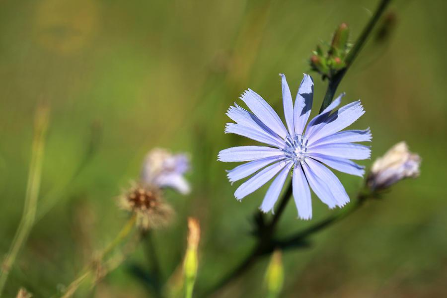Chicory Photograph