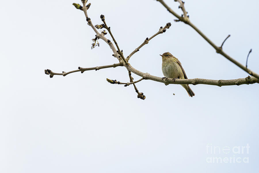 Chiffchaff On The Loo Photograph