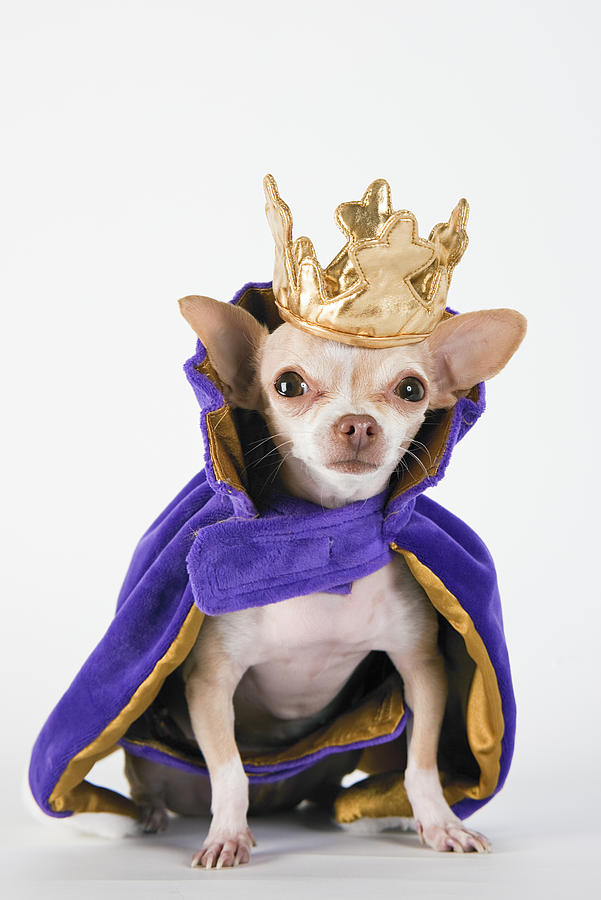 Chihuahua wearing a purple robe and crown Photograph by Maiteali