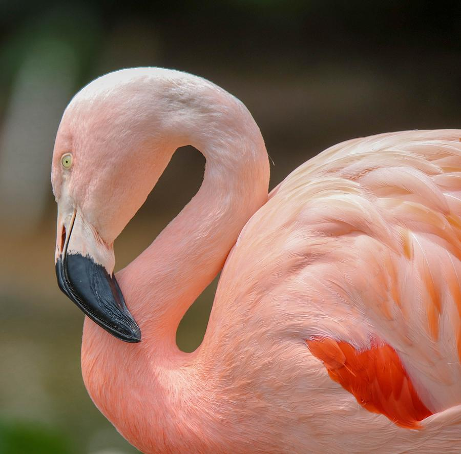 Flamingo Photograph - Chilean Flamingo Portrait by Susan Rydberg