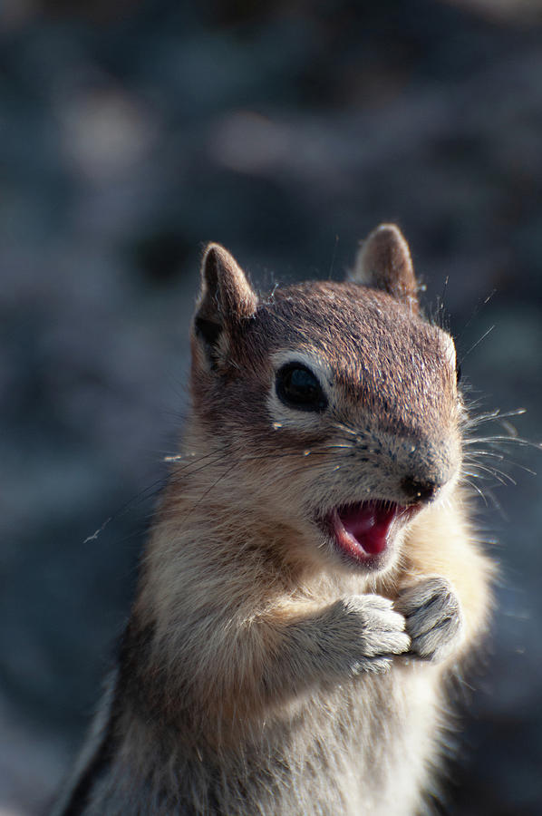 Chipmunk Chatter Photograph