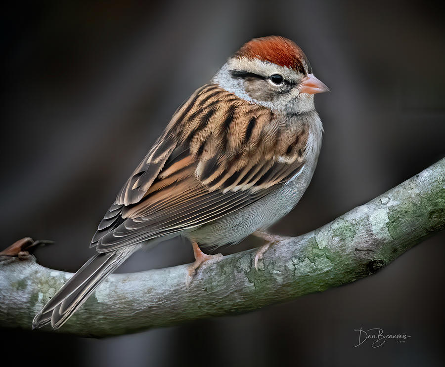 Chipping Sparrow 6410 Photograph