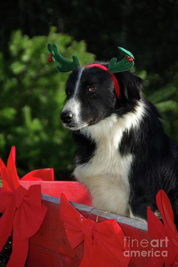 Christmas Reindeer Border Collie Photograph
