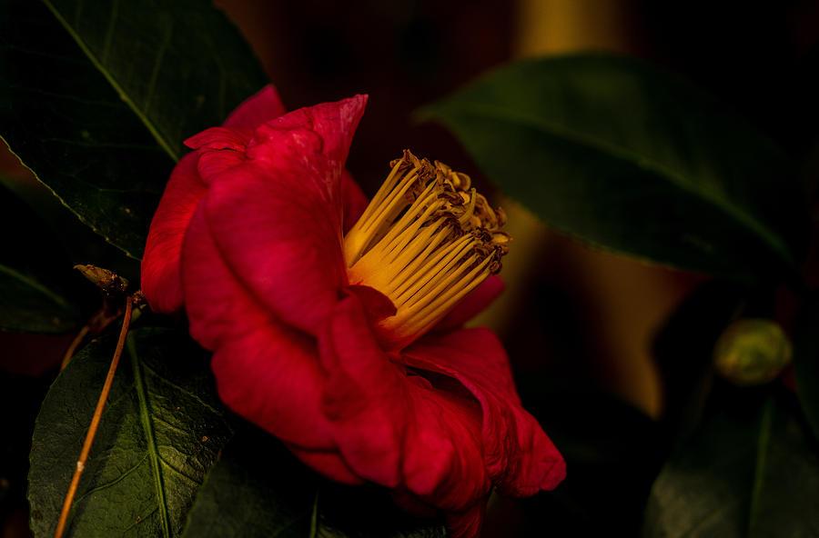Christmas Rose by John Harding
